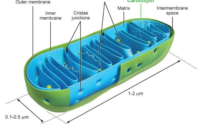 mitochondria_final